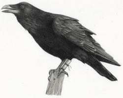 """Adrienne KammererDark Wings, Dark Words 9 x 6"""" Graphite on paper. 2011"""